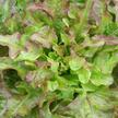 Lettuce: Bronze Arrow image