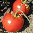 Tomato: Crimson Sprinter image