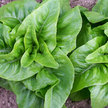 Lettuce: Deer Tongue (Matchless) image