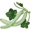 Cucumber: Sweet Armenian image