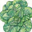 Lettuce: Summer Bibb image