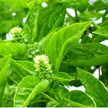 Basil: Sweet Green image