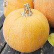 Pumpkin: Winter Luxury image