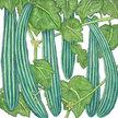 Cucumber: Suyo Long image