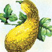 Squash, Summer: Early Golden Summer Crookneck image