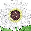 Sunflower: Italian White image