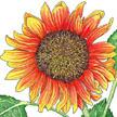 Sunflower: Velvet Queen image