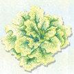 Lettuce: Australian Yellow image