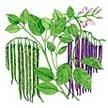Bean: Rattlesnake & Purple Pod image