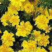 Marigold: Summer Splash image