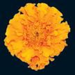 Marigold: Orange Hawaii image