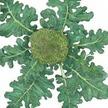 Broccoli: Di Ciccio image