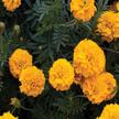Marigold: Gyspy Sunshine image