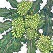 Broccoli: Rapini image