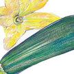 Squash, Summer: Dark Green Zucchini image