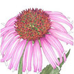 Echinacea: Black Sampson image