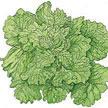 Lettuce: Black Seeded Simpson image