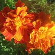Marigold: Spanish Brocade image