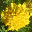 Marigold: Lemon Drop image
