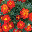 Marigold: Red Cherry image