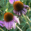 Echinacea: Narrow-leaved Purple Coneflower image