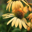 Echinacea: Yellow Coneflower image