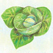 Cabbage: Cour di Bue image