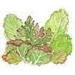 Lettuce: Monet's Garden image