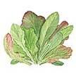 Salad Blends / Mesclun: Italian Misticanza image
