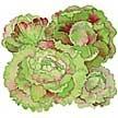Lettuce: Merveille de Quatre Saisons image