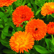 Calendula: Orange King image