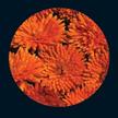 Calendula: Orange Porcupine image