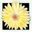 Calendula: Kabloona image