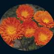 Calendula: Ball's Improved Orange image