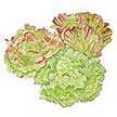 Lettuce: Blush Batavian image