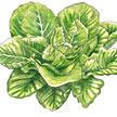 Lettuce: Parris Island Cos image