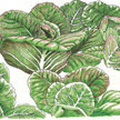 Lettuce: Rouge D'Hiver image