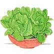 Lettuce: Sweetie Baby Romaine image