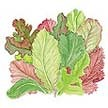 Lettuce: Cut and Come Again Mesclun image