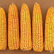 Corn: Leaming's Yellow image