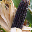 Corn: Cherokee White Eagle image