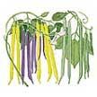 Bean: Tricolor Bush image