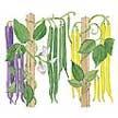 Bean: Tricolor Pole image
