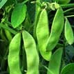 Bean, Edamame & Soybean: Sayamusume Soybean image