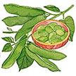 Bean, Edamame & Soybean: Edamame Soybeans image