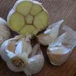 Garlic: Lorz Italian image