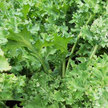 Kale: Siberian image
