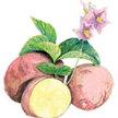 Potato: Rose Gold image