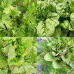 Salad Blends / Mesclun: Spring Mesclun Mix Sampler image