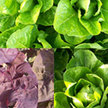 Salad Blends / Mesclun: Summer Mesclun Mix Sampler image